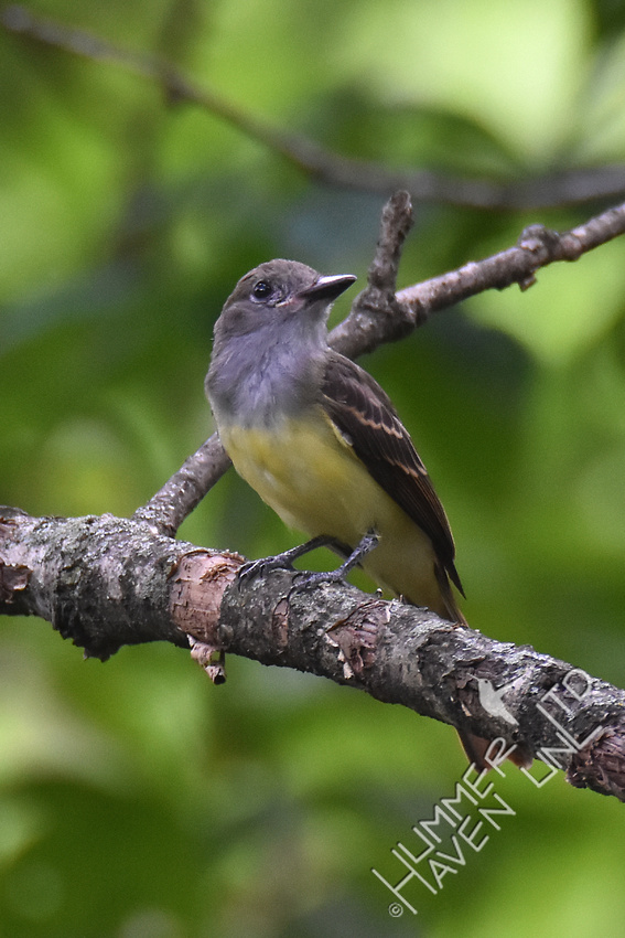 Great Crested Flycatcher juvenile 7-25-17