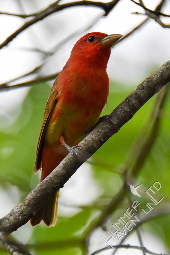 Summer Tanager 4-30-17