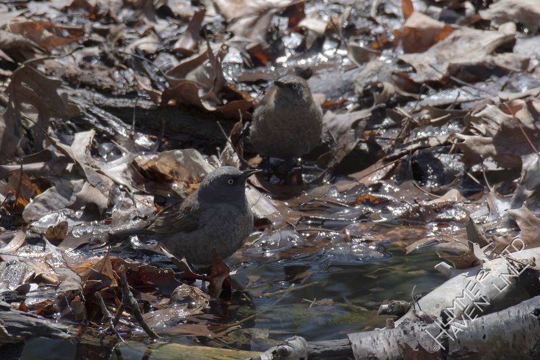 Rusty Blackbirds 4-7-18