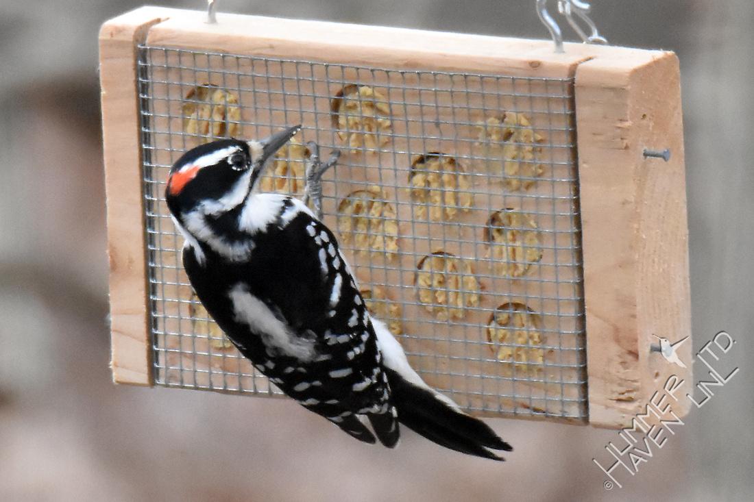 Hairy Woodpecker 1-25-17