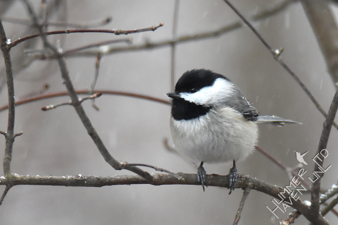 Carolina Chickadee 2-8-17