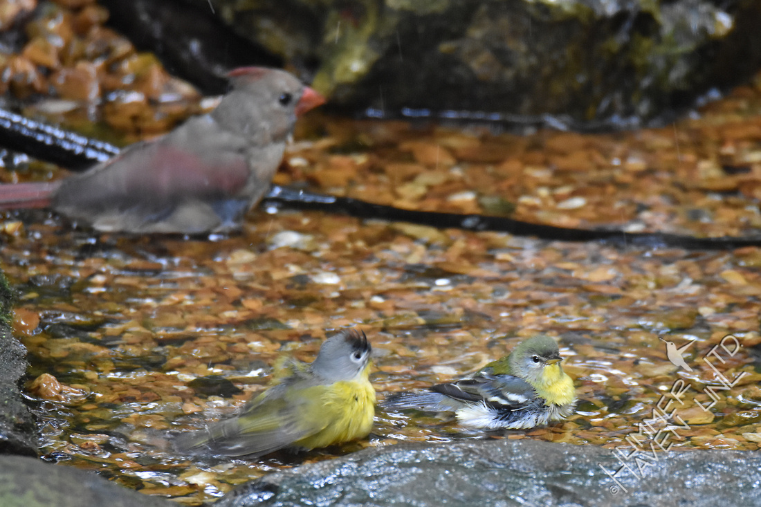 Northern Cardinal, Nashville Warbler and Northern Parula  10-6-17