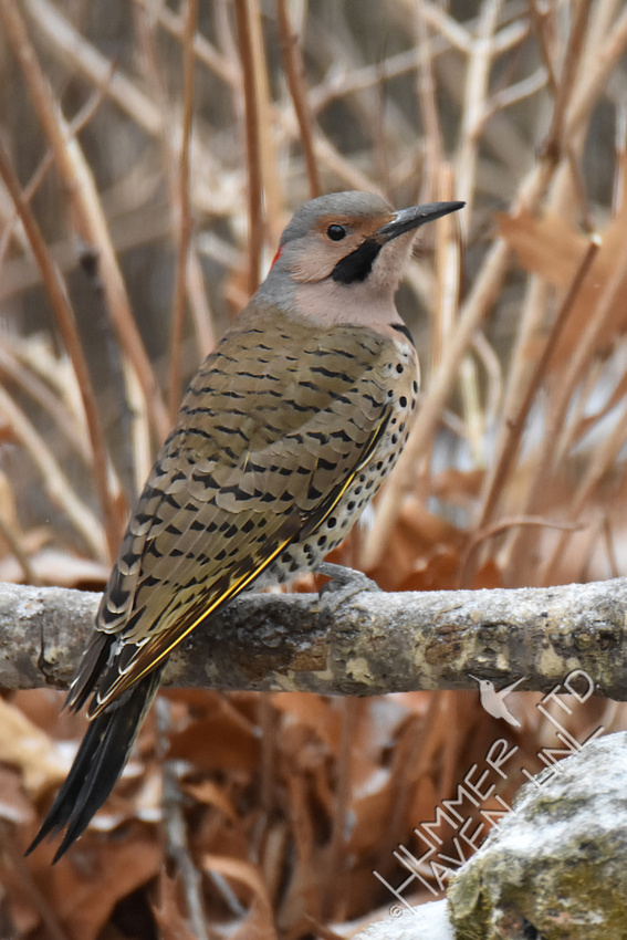Northern Flicker 2-11-18