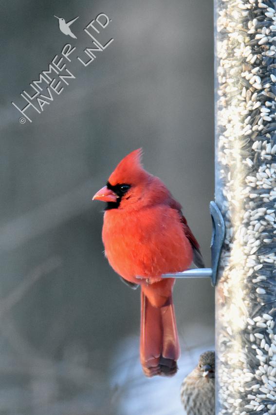 Northern Cardinal  1-1-18