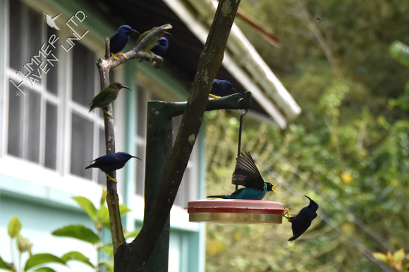 Green and Purple Honeycreepers 1-26-18
