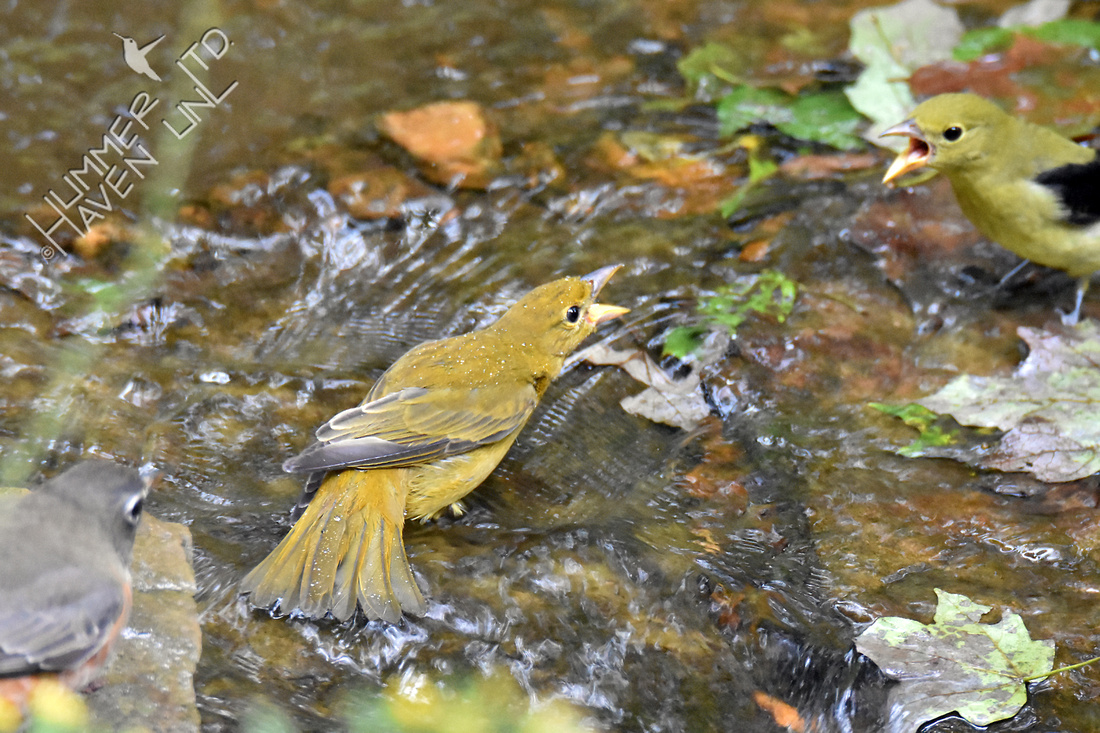 American Robin, Summer Tanager female and Scarlet Tanager 10-1-16